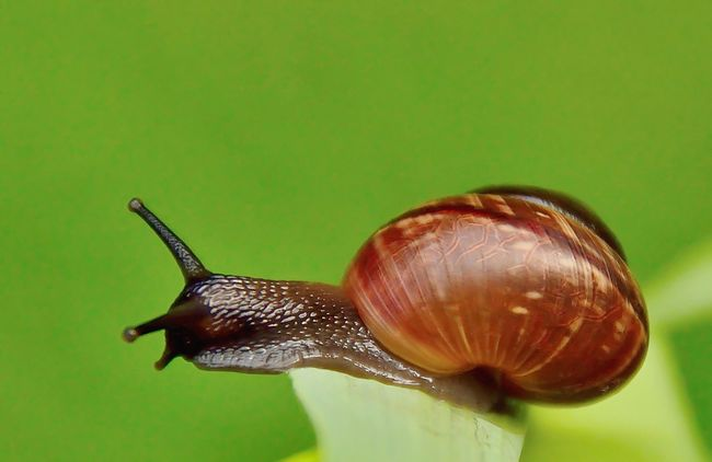 Slak Snail One Animal Animal Antenna Zoology Green Color Slow Nature No People Crawling Eyeemphotography Walking Around Nature Photography Animal Themes Nature On Your Doorstep Nature's Diversities Gastropoda Gelderland