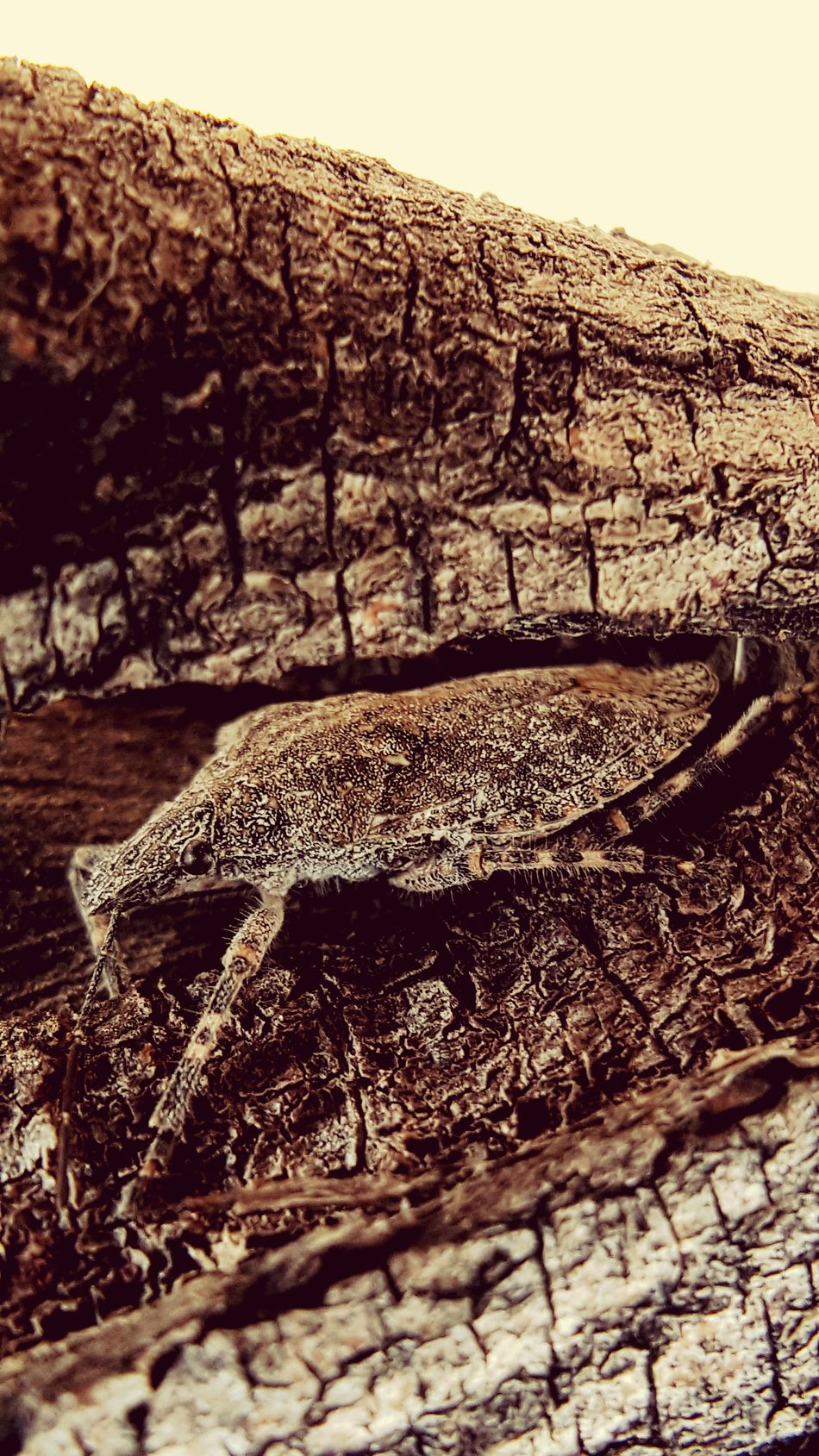 Outdoors Nature Animals In The Wild Day No People One Animal Animal Themes Close-up Insect Insects  Eyes Brown Gray Full Length Stinkbug Hidden Hiding Camaflouge Stink Bug