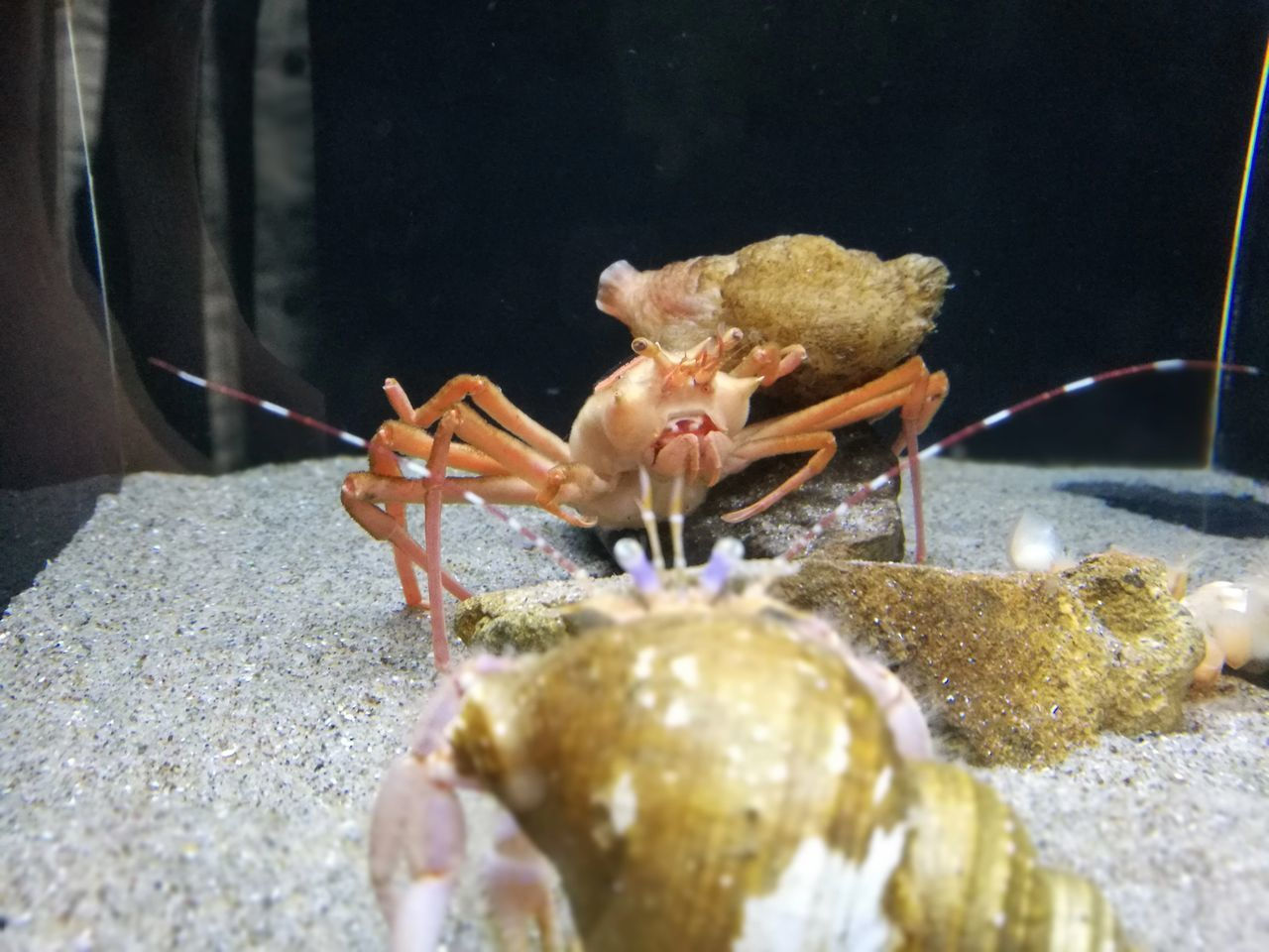 animal themes, one animal, close-up, sea life, animals in the wild, animal wildlife, hermit crab, no people, underwater, water, undersea, nature, day, indoors, freshness