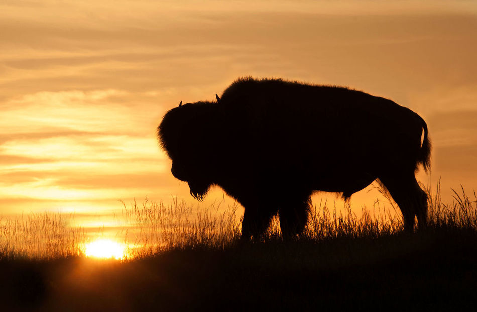 Beautiful stock photos of grass, American Bison, Animal Themes, Animal Wildlife, Animals In The Wild