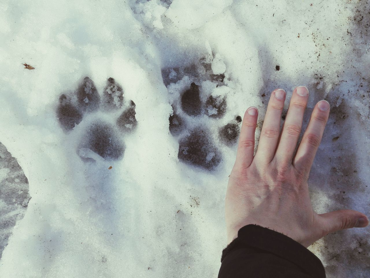 Traces of a huge wolf? Human Hand Palm Outdoors Footprints Foot Steps Traces Hunting Russia Woods Wolf Animal Themes Animals In The Wild Dog Paw Paw Print