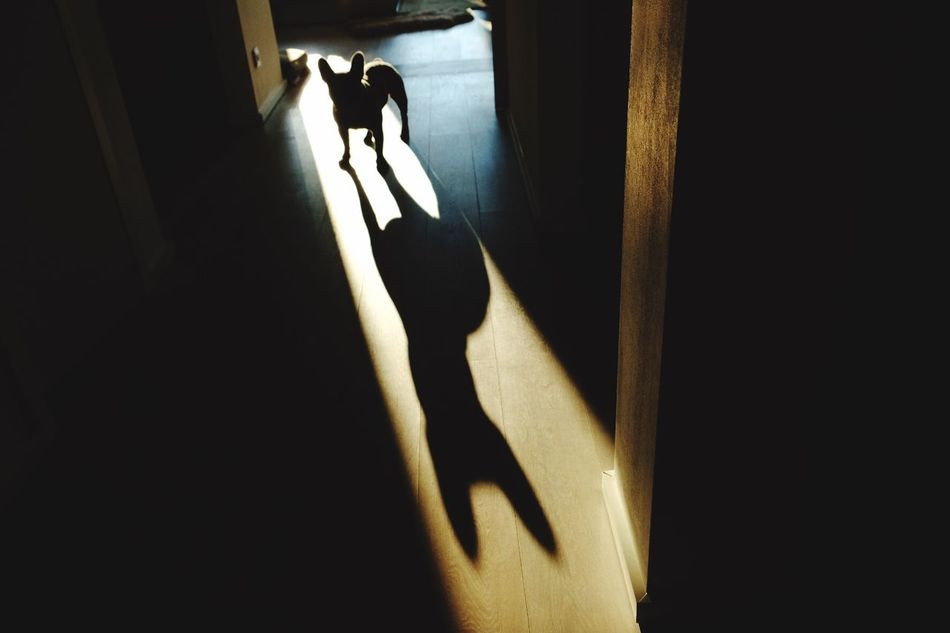 My little Batman bulldog Shadow Frenchbulldog Love Light And Shadow Indoors  Silhouette Batman Pets Animals First Eyeem Photo