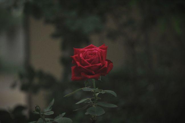 Pastel Power Softness Red Rose🌹 Same Old