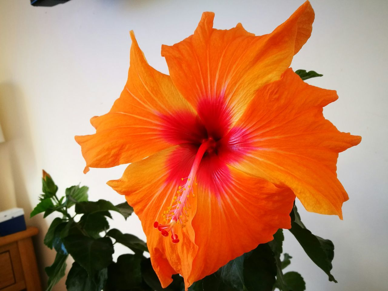flower, petal, orange color, flower head, fragility, beauty in nature, freshness, nature, blooming, plant, hibiscus, growth, day, no people, close-up, outdoors, day lily