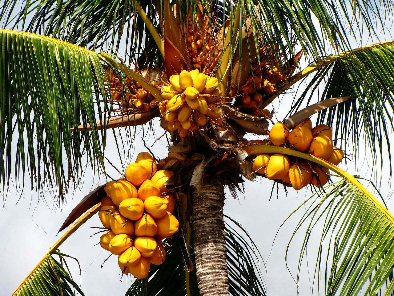 Low Angle View Of Yellow Coconuts On Palm Tree