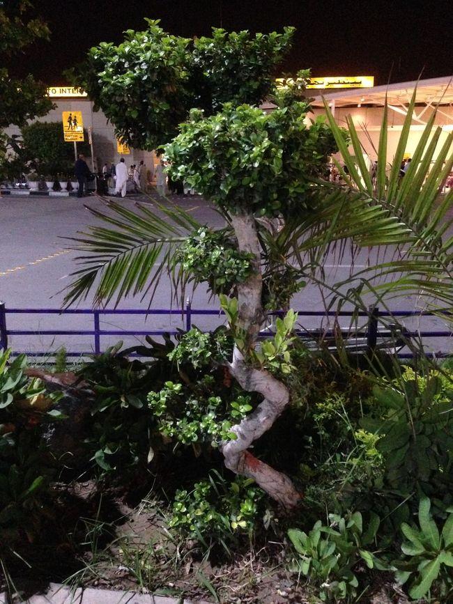 Rawalpindi Airpot Bonsai Tree Plants 🌱