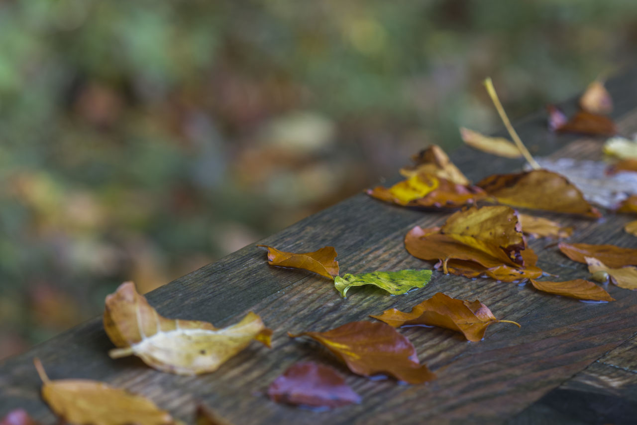 leaf, autumn, change, no people, day, outdoors, maple leaf, close-up, nature, maple