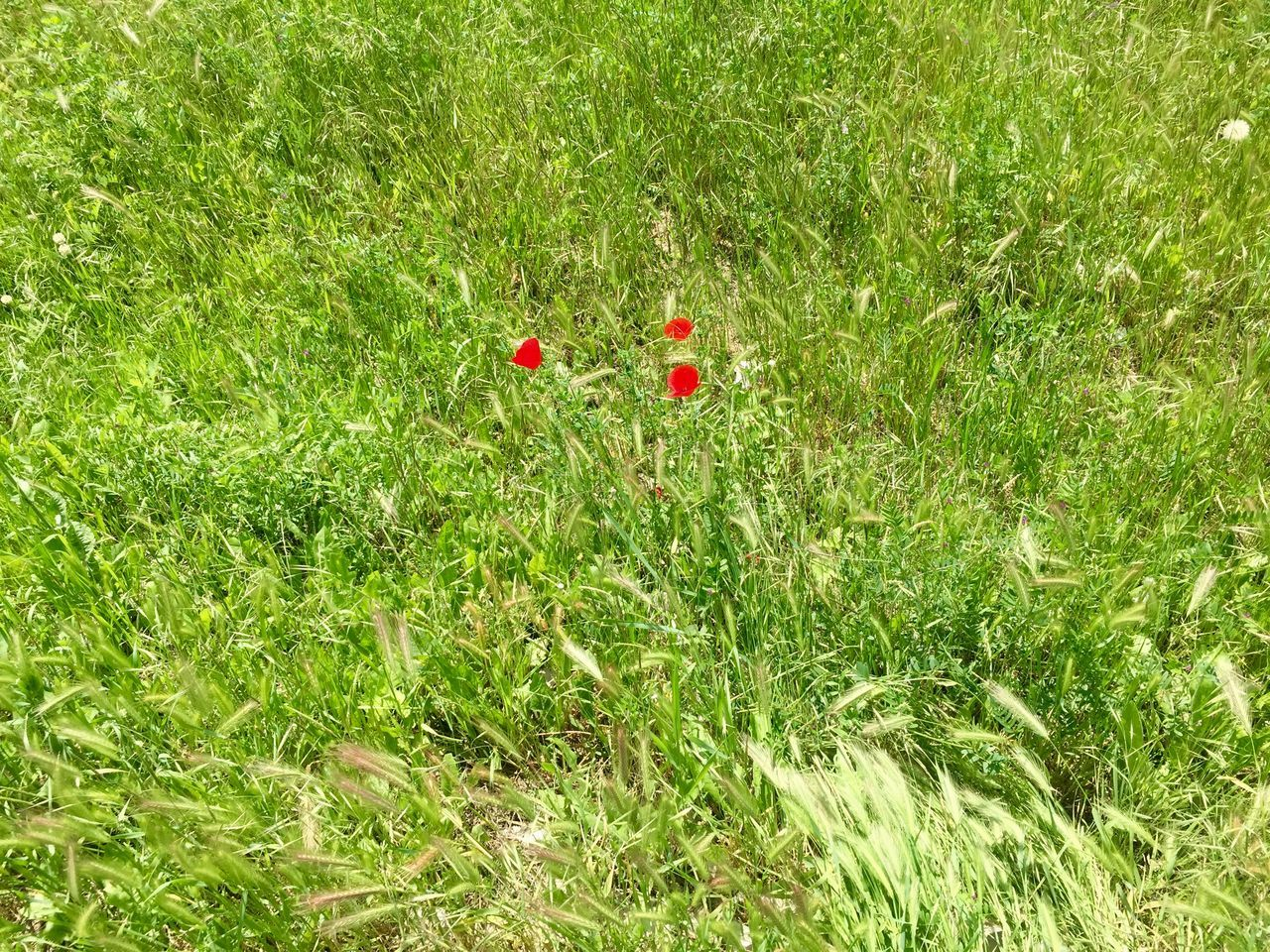 Day Field Field Flower Flowers Grass Green Green Color Green Field Growth Ladybug Nature Nature No People Outdoor Outdoors Poppy Red Unexpected