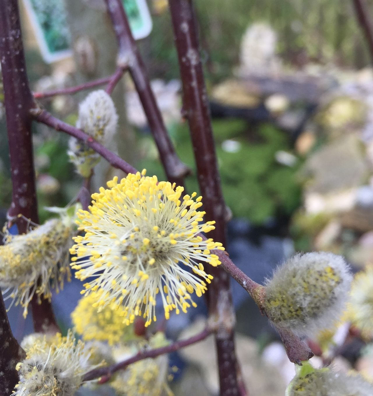 Kilmarnock willow Catkin Spring 2016