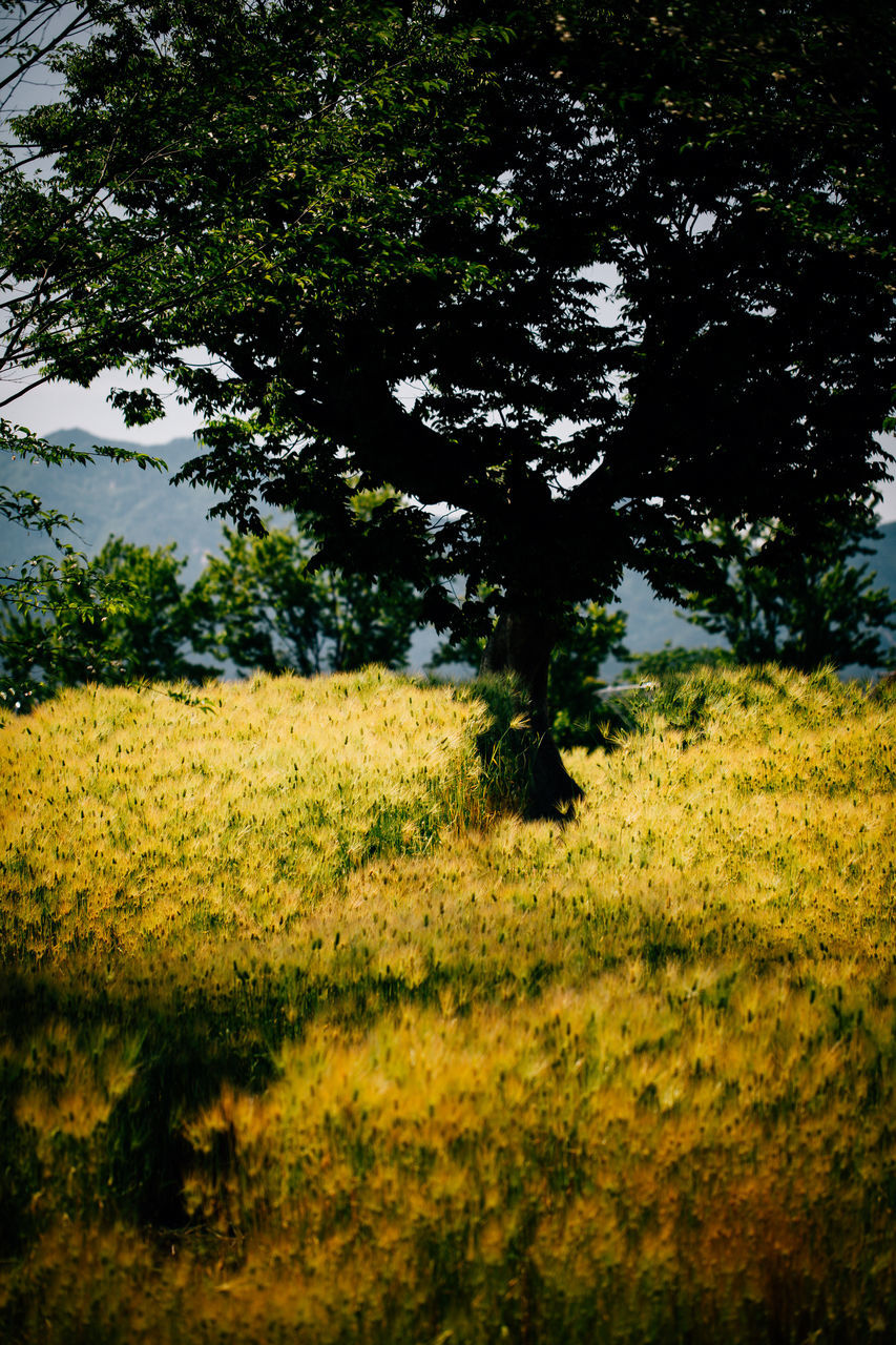 nature, tree, field, yellow, landscape, growth, no people, agriculture, beauty in nature, grass, outdoors, day