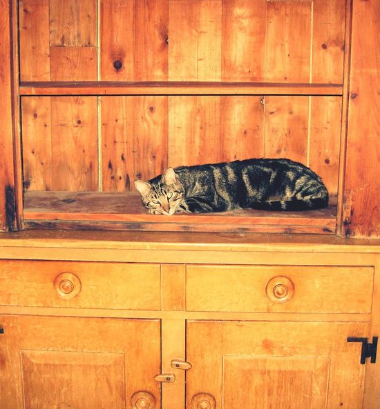 Dad's Cat Wood - Material Cabinet Indoors  No People Old Vintage Fur Domestic Cat Feline Vintage Old Antique Cabinet China Cabinet Hutch Bookshelf Bookshelves Shelf dining Tabby Absynium Relaxing Soft Pine