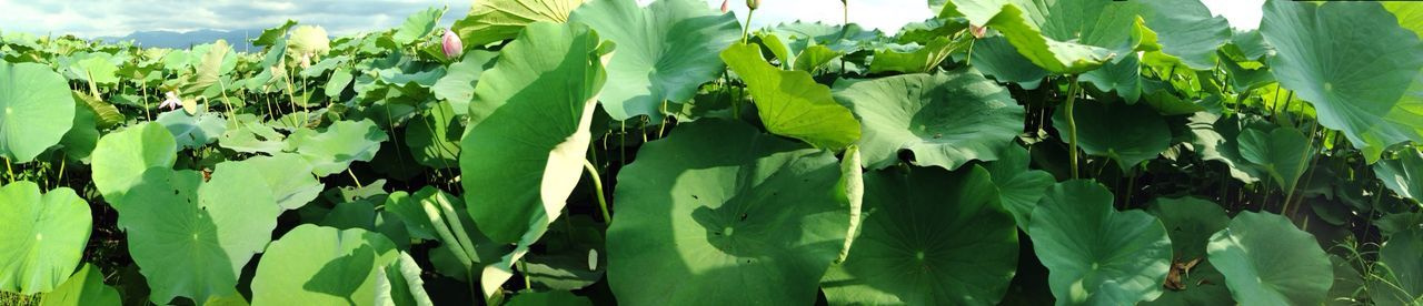 花兒不見了-4 Lotus Fields Lotus Leaf Lotus Panorama