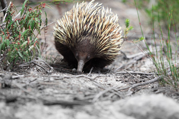 Animals In The Wild Animal Themes Animals In The Wild Day Nature One Animal Outdoors Spiny Anteater