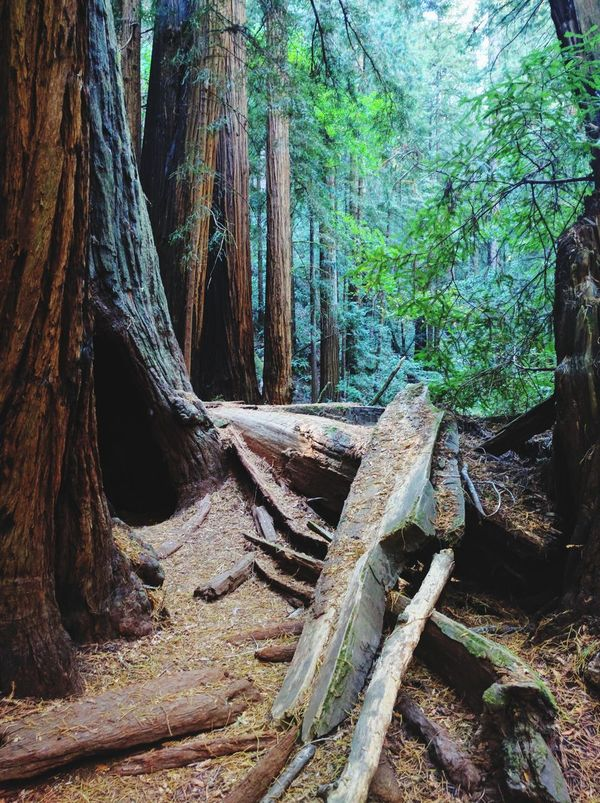 Tree Tree Trunk Nature No People Forest Growth Outdoors Day Tranquility Beauty In Nature Muir Woods California