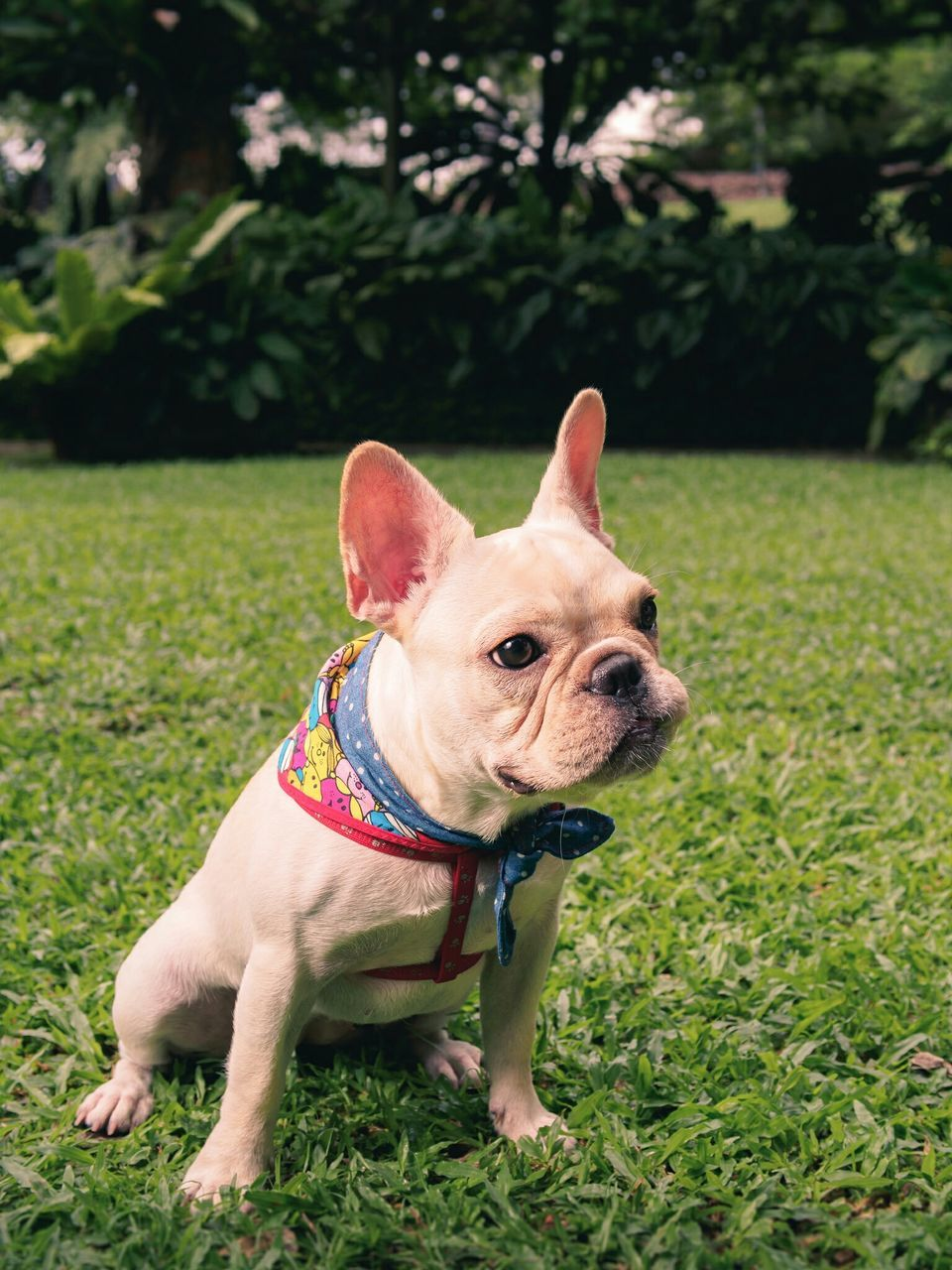 French Bulldog On Grassy Field