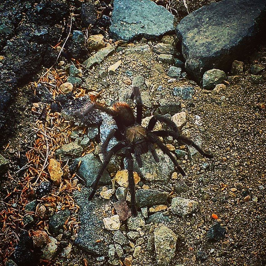 Went for a drive, made a (not so) friend. Tarantula Glendoramountainroad Glendora GMR angelesnationalforest californiadreaming tarantulasofinstagram
