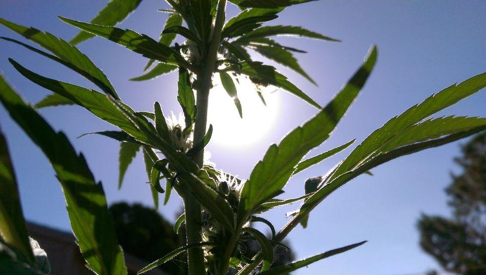 Growyourown 420 Sdstoners Prop215 MMJ Cannabis Dank Kush Homegrown Medicine Cannabiscommunity Staylifted Love Topshelflife