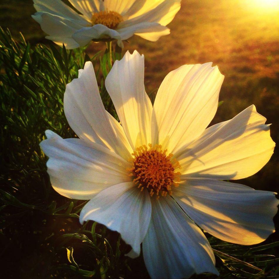 Nature Flowers Flowerporn Sunset