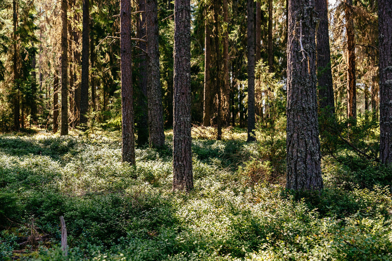 Swedish forest in summer Beauty In Nature Dalarna Day Forest Green Color Growth Landscape Lush - Description Lush Foliage Nature Nature Reserve No People Outdoors Scenics Summer Sweden Swedish Swedish Nature Tree Tree Area Tree Trunk Tällberg WoodLand