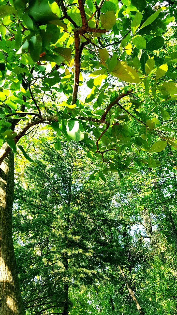 tree, growth, nature, branch, green color, low angle view, beauty in nature, day, no people, outdoors, forest, freshness