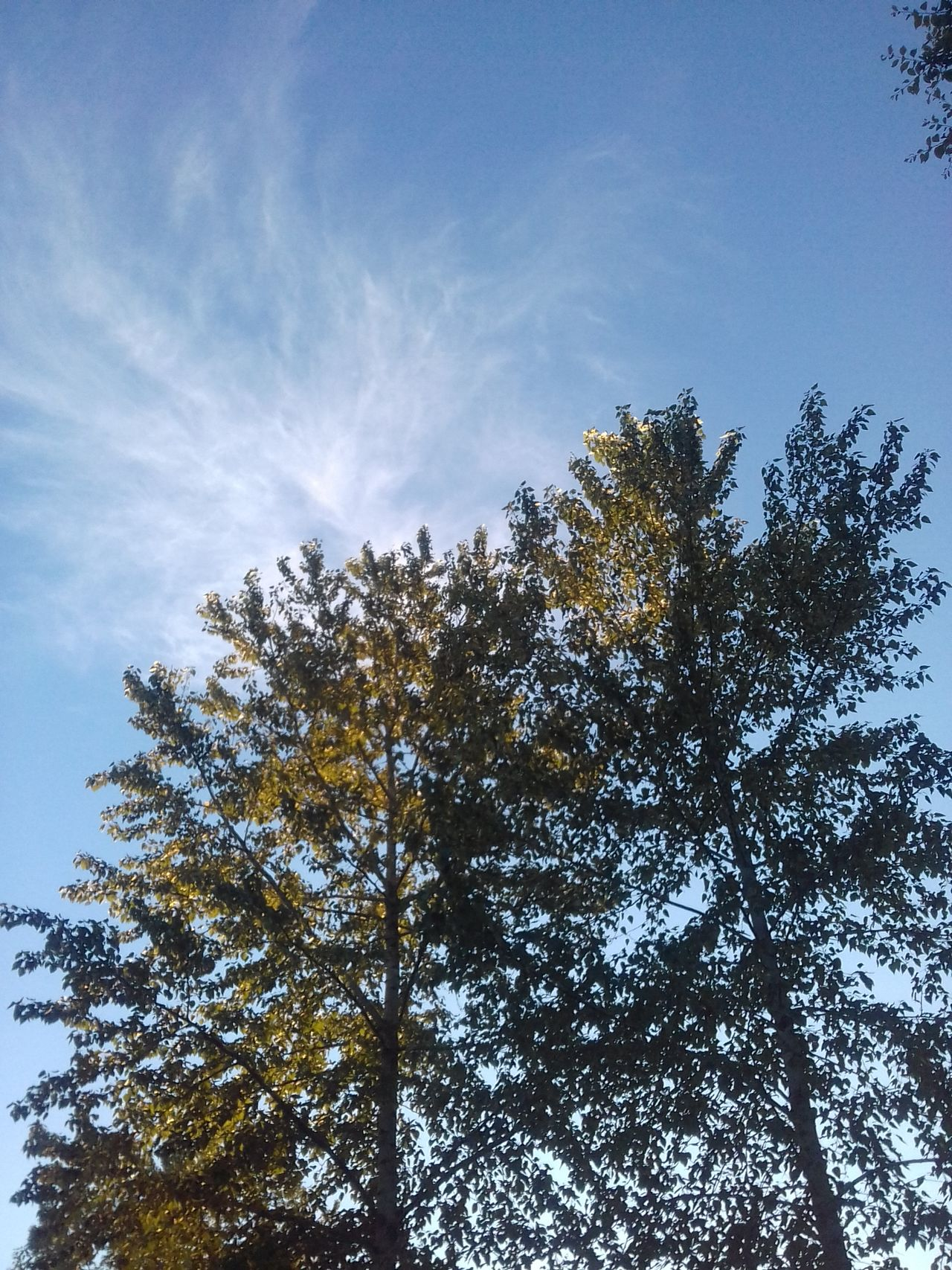 Low Angle View Growth Nature No People Beauty In Nature Outdoors Springtime Cottonwood Trees