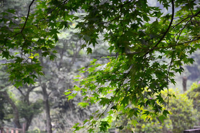 Beauty In Nature Branch Green Color Green Leaves. Growth Leaf Lush Foliage Maple Leaves Tree Leaves