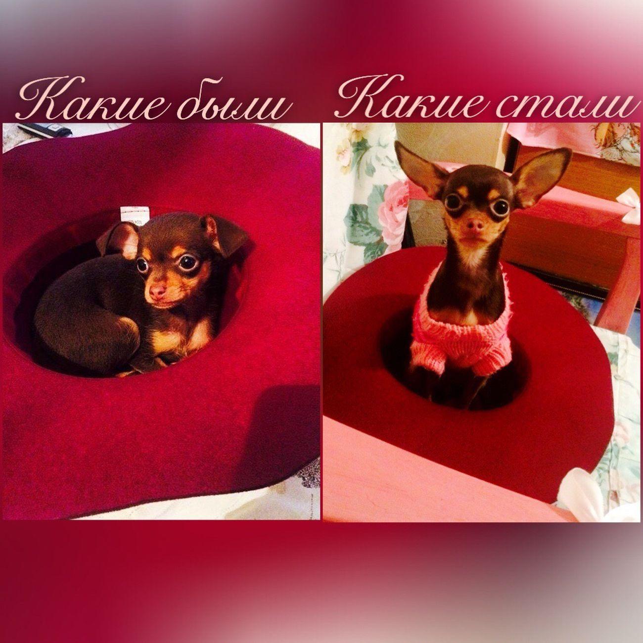 Pets One Animal Dog Animal Themes Russiantoyterier Russiantoyterrier Russiantoy Mypuppy Mypuppydog Mylove Mymodel Fashion Fashiondog Dolcegabana