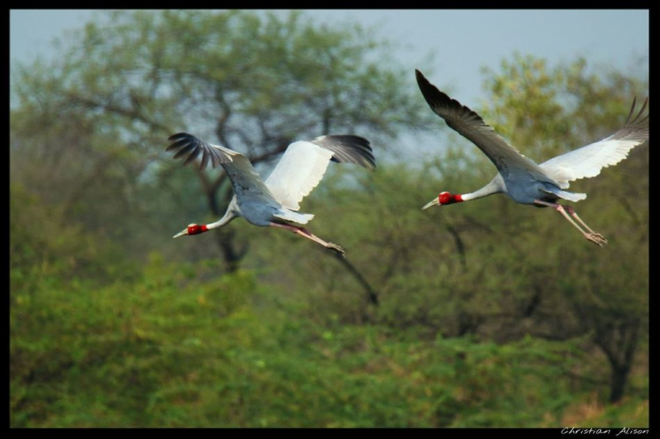 A pair of Sarus crane Nature Beautiful Riverside Birds Birdwatching Bird Photography Couple