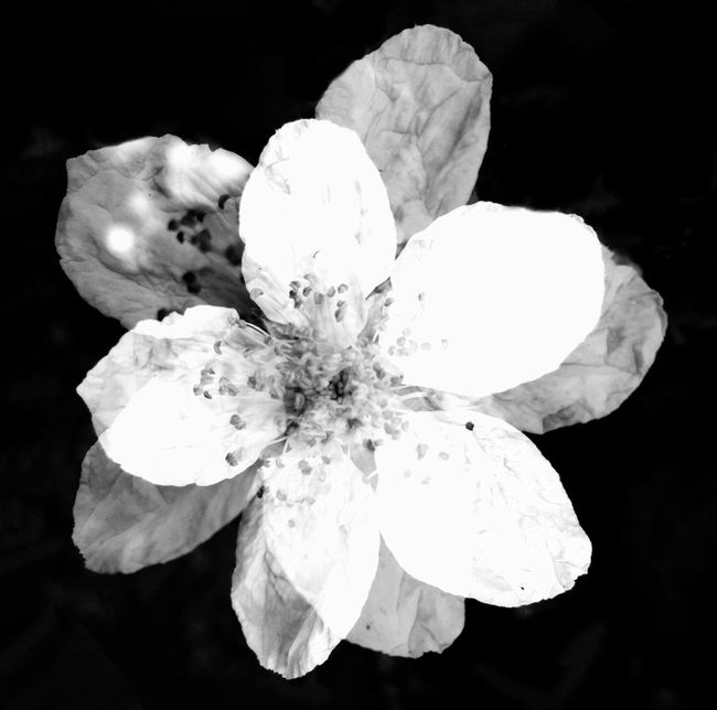 Black & White Flower Pacificnorthwest