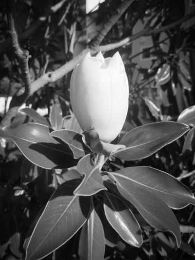 Plant Nature Leaf Flower Head Growth Flower Beauty In Nature Day Outdoors Magnolia Magnolia_Blossom Magnolia Flower Magnolia Blossoms Magnolias Blooming Magnolia Blossom MagnoliaTree Magnolia Tree Magnolias Magnolia Bloom