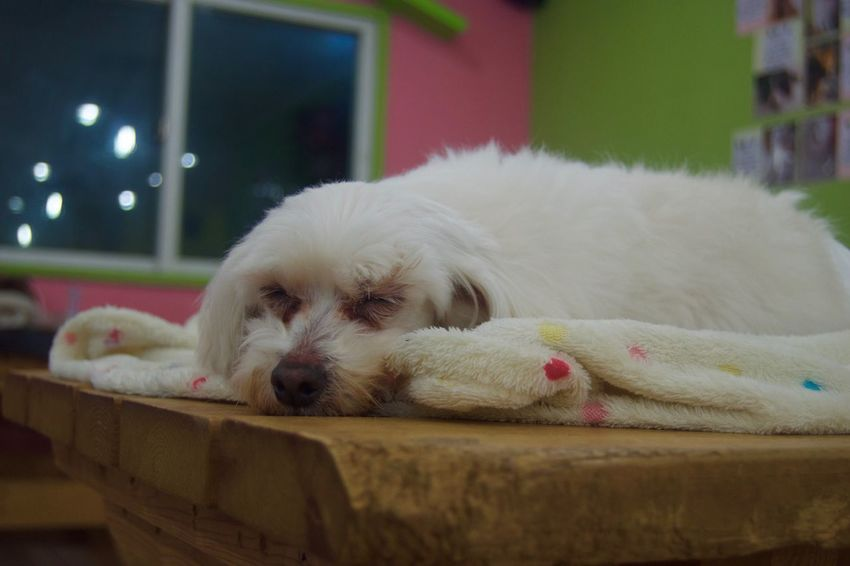Animal Themes Close-up Day Dog Domestic Animals Indoors  Mammal No People One Animal Pets Pomeranian Relaxation Shih Tzu