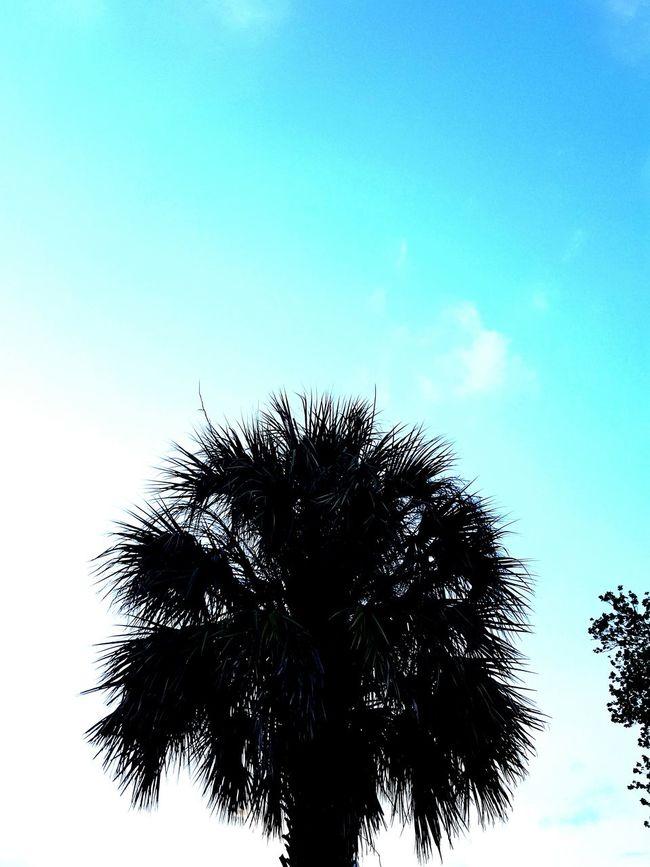 Palm Tree Silhouette Florida Nature