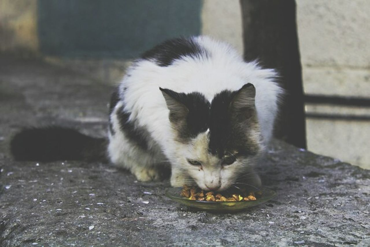 animal themes, domestic cat, one animal, mammal, eating, outdoors, domestic animals, no people, pets, food, feline, day, nature, close-up