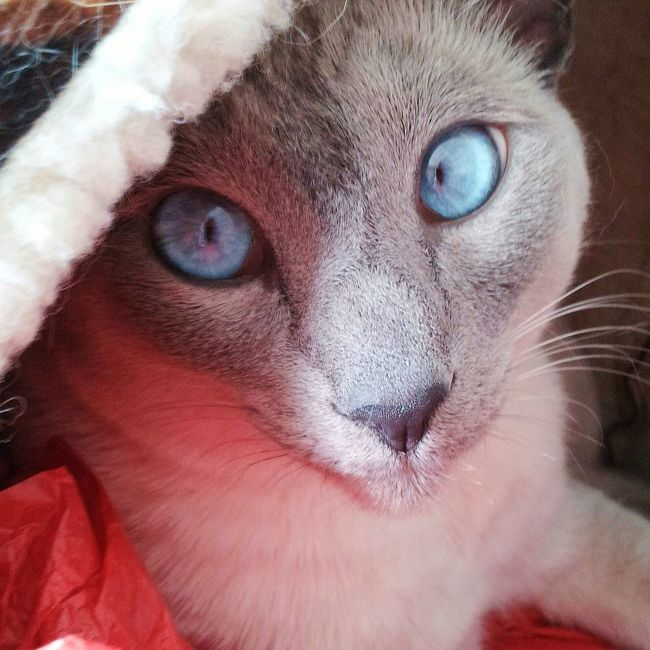 My beautiful sweet Siamese princess Precious 💖 Sillysausagepublications Princessprecious Siamese Siamese Cat Pet Pet Photography  Blue Eyes Furryfriend Cat Cats Cats Of EyeEm Ilovemycat Beautiful Beautifulcat Pretty Prettyprincess Mybeloved  Precious Photography Photooftheday Picoftheday Loveprecious