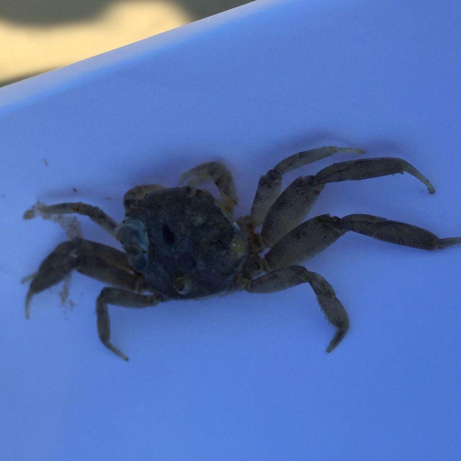 Crab Cangrejoplayero