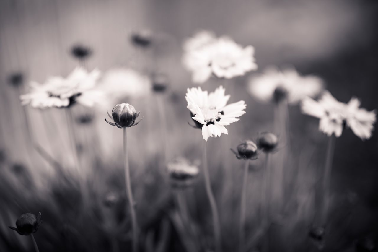 Flower Fragility Nature Flower Head Freshness Stem Petal Plant Growth Focus On Foreground Beauty In Nature No People Close-up Blooming Outdoors Day Bokeh Garden Summer Blossom Monochrome Black And White