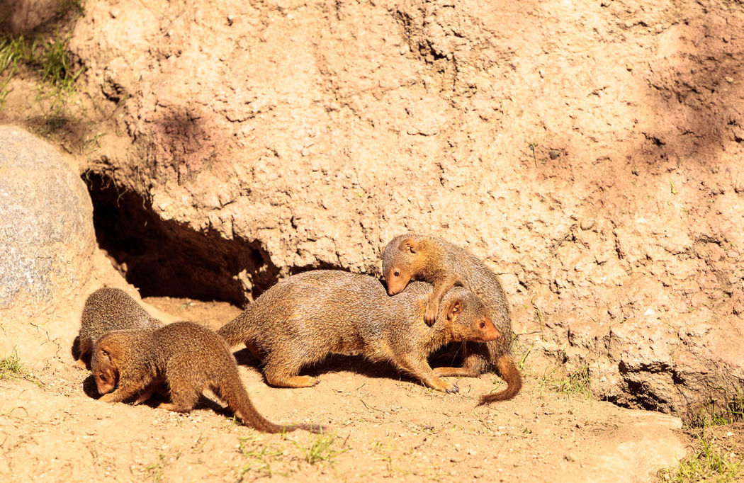 Young rock hyrax known as Procavia capensis play in the sun on the rocks Animal Themes Animals In The Wild Day Hyrax Mammal Nature No People Outdoors Playing Procavia Capensis Rock Hyrax Rough Housing Roughhousing
