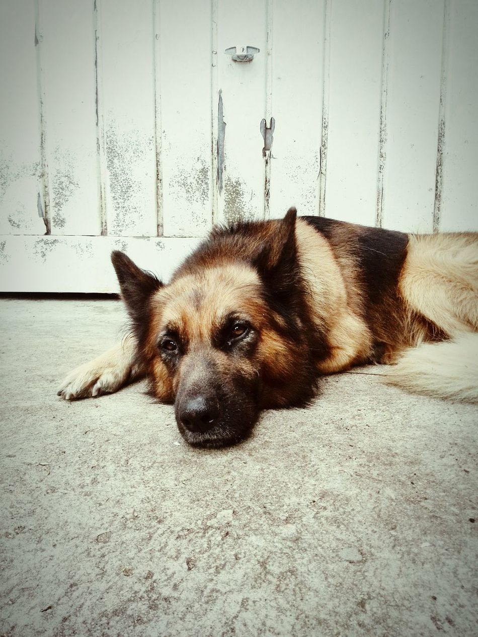 Oscar. He's not that wilde... Southafrica Dogportrait Animals Germanshepherd Home Is Where The Art Is Pets Dogs