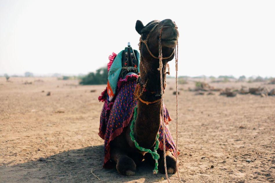 Beautiful stock photos of egypt, Adult Animal, Animal, Animal Themes, Camel