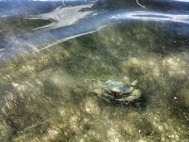 Landscape #Nature #photography Fauna_collection Blue Crab Seagrass Florida Life Going On A Boat Ride