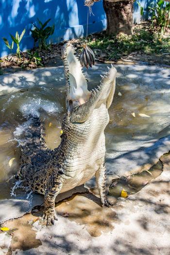 Animal Themes Animal Wildlife Animals In The Wild Bird Crocodile Day Feeding Animals Motion Nature No People One Animal Outdoors Splashing Tropical Climate Water