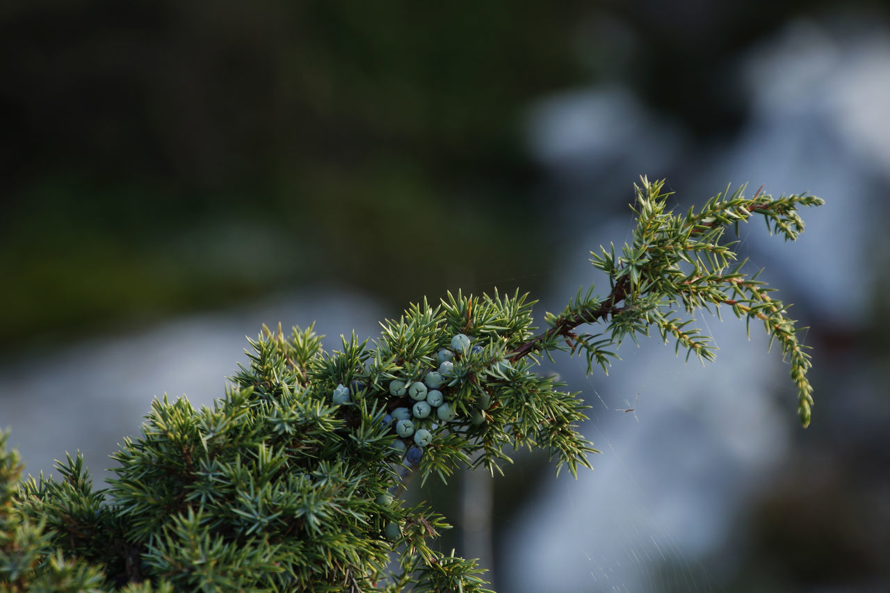 Botany Branch Close-up Evergreen Tree Focus On Foreground Green Color Juniper Juniper Berries Nature Needle - Plant Part Plant Selective Focus Spiked
