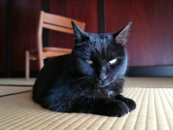 Black Cat Tatami Husuma Japanese Old Traditional House Chair Cute Lovely Cat Lover Cat Japanese Traditional House EyeEm Selects Domestic Cat Pets Domestic Animals Feline Animal Themes One Animal Indoors  Mammal Looking At Camera No People Home Interior Whisker Portrait Day