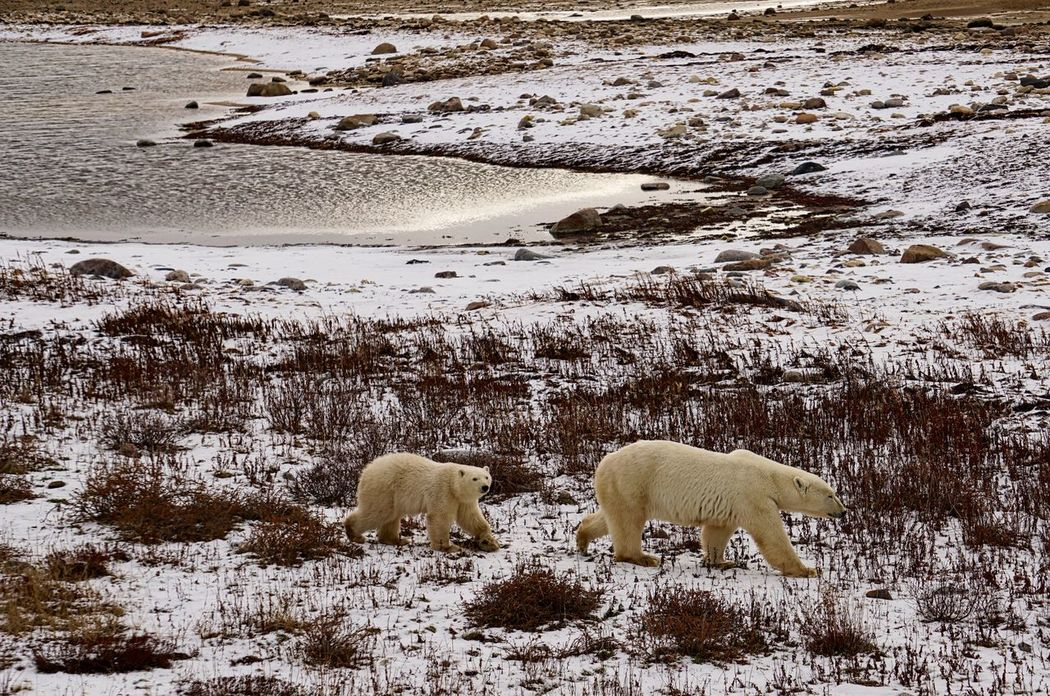 Mother Bear and Cub waiting for freeze up Animal Migration Animal Themes Bear Bear Cub Beauty In Nature CHURCHILL Cold Temperature Cub Day Environment Global Warming Hudson Bay Mammal Nature No People North Outdoors Polar Bear Snow Water Wild Animal Wildlife