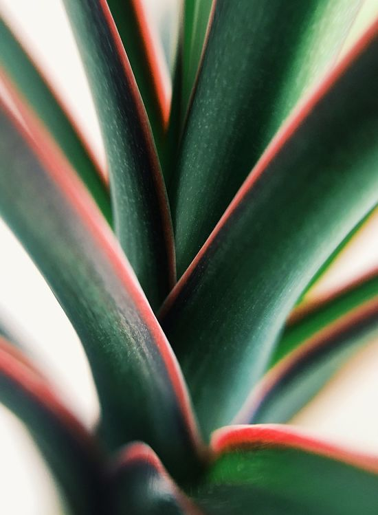 Dracaena   Growth Green Color Plant Nature Close-up Spiked Full Frame No People Leaf Herbal Medicine Beauty In Nature Dracaena EyeEmNewHere EyeEm Nature Lover EyeEm Best Shots EyeEm Selects