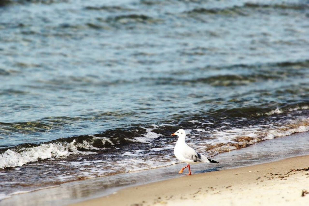 one animal, bird, animal themes, beach, animals in the wild, shore, water, sea, nature, animal wildlife, sand, seagull, no people, day, outdoors, perching, beauty in nature, wave