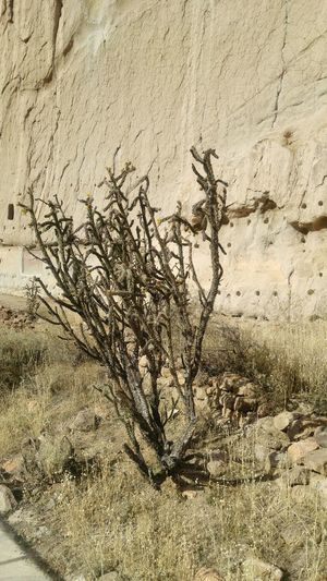 Nature No People Outdoors Tree Growth Plant Close-up Day Frosted Glass Cactus Ocotillo Desert Beauty Dry Cliffside Cliff EyeEm Nature Lover Landscape New Mexico Cactus Collection Landscape_photography Landscape_Collection Spines Dry