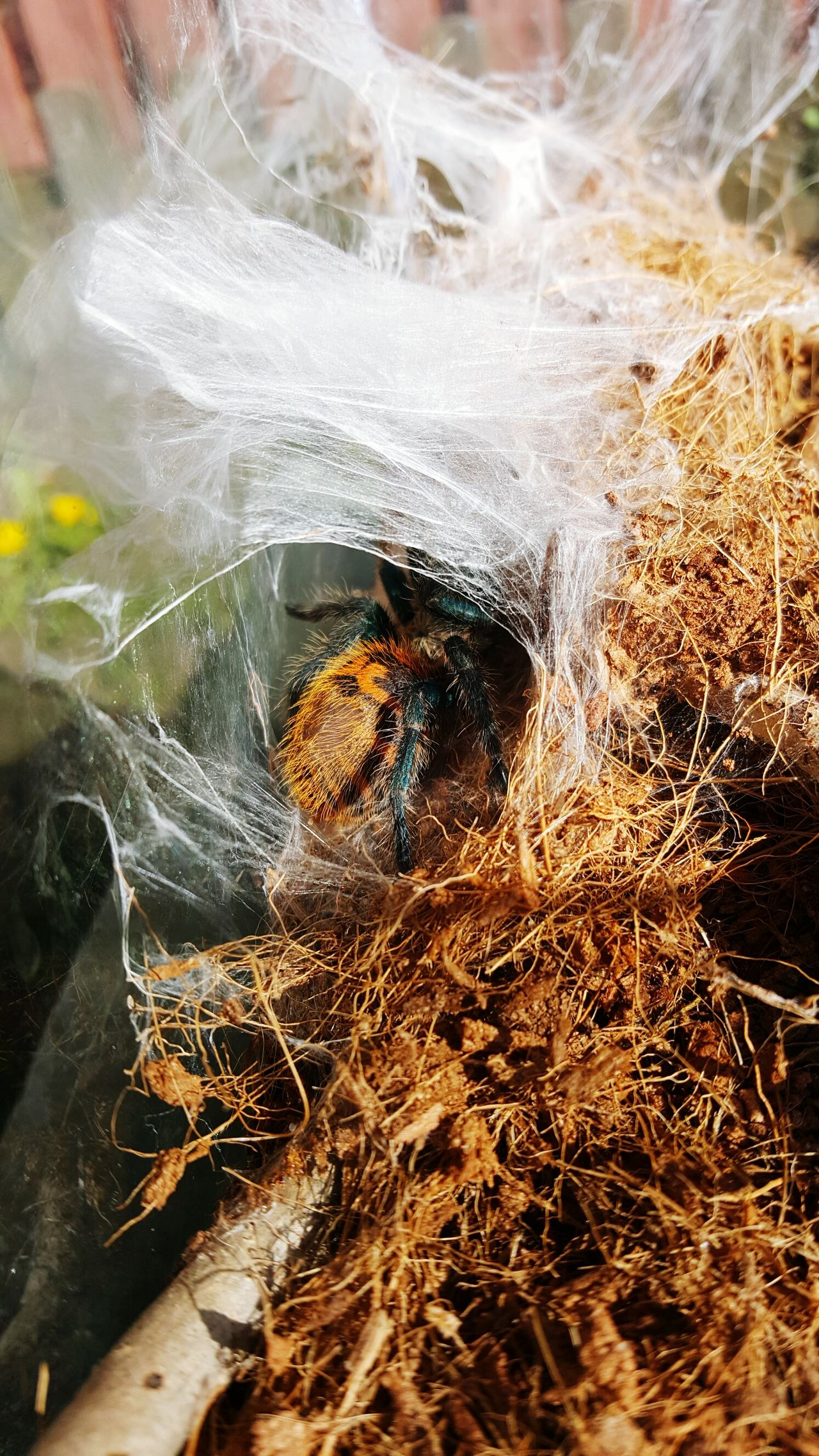 Tarantula Hiding From The World Spider Web Terarium Spider Jonis Animal Themes Bug Green Butle Blue Tarantula