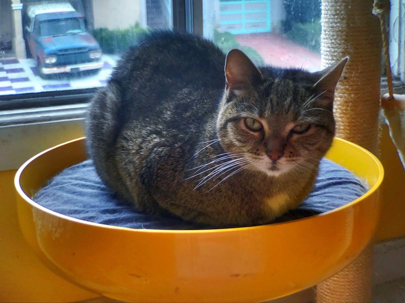 Domestic Cat Pets Domestic Animals Koduckgirl