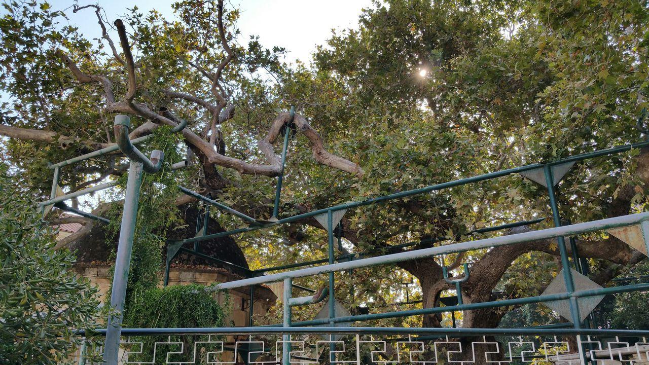 Hippocrates Tree Greece